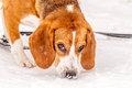 Beagle closeup image of the dog sniffing the snow Stock Images