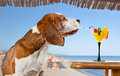 Beagle and cocktail drinks in bar on a beach Stock Photos