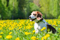 Beagle and dandelions Royalty Free Stock Photo