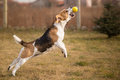 Beagle dog catching ball in jump Royalty Free Stock Photos
