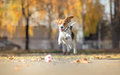 Beagle dog chasing ball and jumping in park Royalty Free Stock Photo