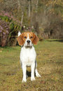 Beagle dog on green meadow Royalty Free Stock Images