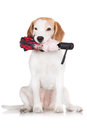 Beagle dog holding an umbrella in her mouth Royalty Free Stock Photos