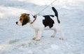 Beagle dog on ice Royalty Free Stock Photo