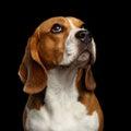Beagle dog on isolated black background Royalty Free Stock Photo