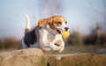 Beagle dog jumping with ball Royalty Free Stock Photo