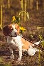 A Beagle Dog With A Leash Waits Outside