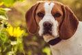 A Beagle Dog Looks At The Camera