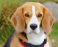 Beagle dog outdoors hunting portrait of a Stock Image