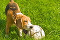 Beagle dog playing ball on grass Royalty Free Stock Image