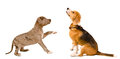 Beagle dog and puppy pit bull Royalty Free Stock Photo