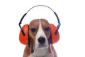 Beagle dog in red industrial headphones isolated on white Royalty Free Stock Photo