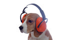 Beagle dog in red industrial headphones isolated on white