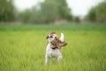 Beagle dog shaking his head Royalty Free Stock Photo