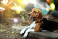 Beagle dog. Royalty Free Stock Photo