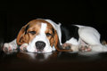 Beagle Dog Sleeping. Royalty Free Stock Photo