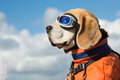 Beagle dog wearing blue flying glasses Royalty Free Stock Photo