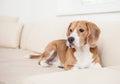 Beagle dog on the white leather sofa Royalty Free Stock Image