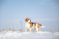 Beagle dog Royalty Free Stock Photo