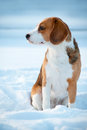 Beagle dog winter portrait Royalty Free Stock Image