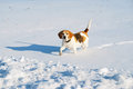 Beagle dog in the winter walking on a snowy ground Royalty Free Stock Photo