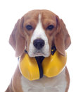 Beagle dog with yellow headphones isolated on white