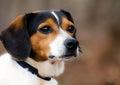 Beagle Fox Terrier mixed breed hunting dog Royalty Free Stock Photo