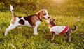 Beagle and girlfriend Royalty Free Stock Photography