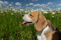 Beagle on green meadow among the wild flowers