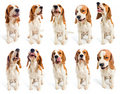 Beagle grimaces Royalty Free Stock Images