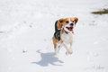 Beagle jumping in snow puppy and playing Royalty Free Stock Photography