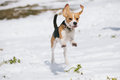 Beagle jumping in snow puppy and playing Stock Image