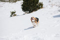 Beagle jumping in snow puppy and playing Stock Photography