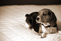 Beagle laying on bed looking away from camera with copy space Stock Photo