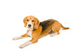 Beagle lying on the floor white background Stock Photo