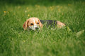 Beagle lying in grass young green Royalty Free Stock Photography
