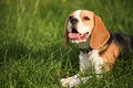 Beagle lying in grass young green Stock Photography