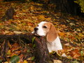 Beagle lying on the ground in autumn forest and resting his head on the tree root Royalty Free Stock Image