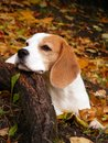 Beagle lying on the ground in autumn forest and resting his head on the tree root Royalty Free Stock Images