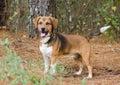 Beagle mixed breed hound dog Royalty Free Stock Photo