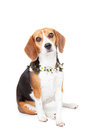Beagle pet dog Royalty Free Stock Photography