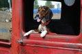 Beagle pickup 免版税库存图片