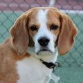 Beagle portrait Royalty Free Stock Photos