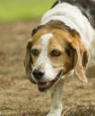 Beagle portrait purebred dog hunting in field Stock Photo