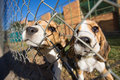 Beagle puppies two young behind a fence in a dog pound Stock Image