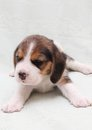 Beagle puppy Stock Images