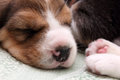 Beagle puppy Stock Photos
