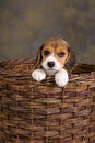 Beagle puppy in basket seven weeks old cute little an old wicker Royalty Free Stock Photos