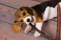 Beagle puppy chewing on stick seven weeks old cute little a Stock Image