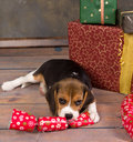 Beagle puppy with christmas gift Royalty Free Stock Photo
